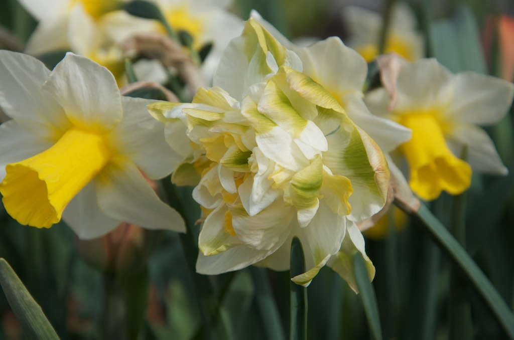 Daffodil- double with hints of yellow and green on the centre petals.