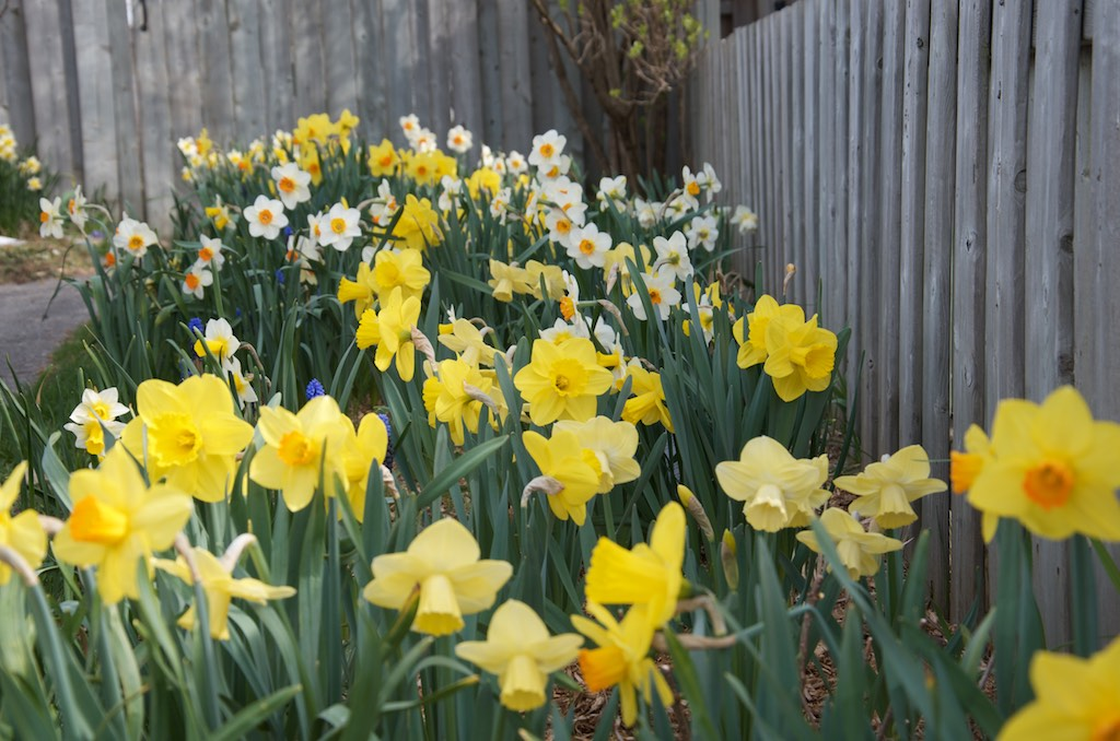 a garden full of blooming daffodils of many varieties