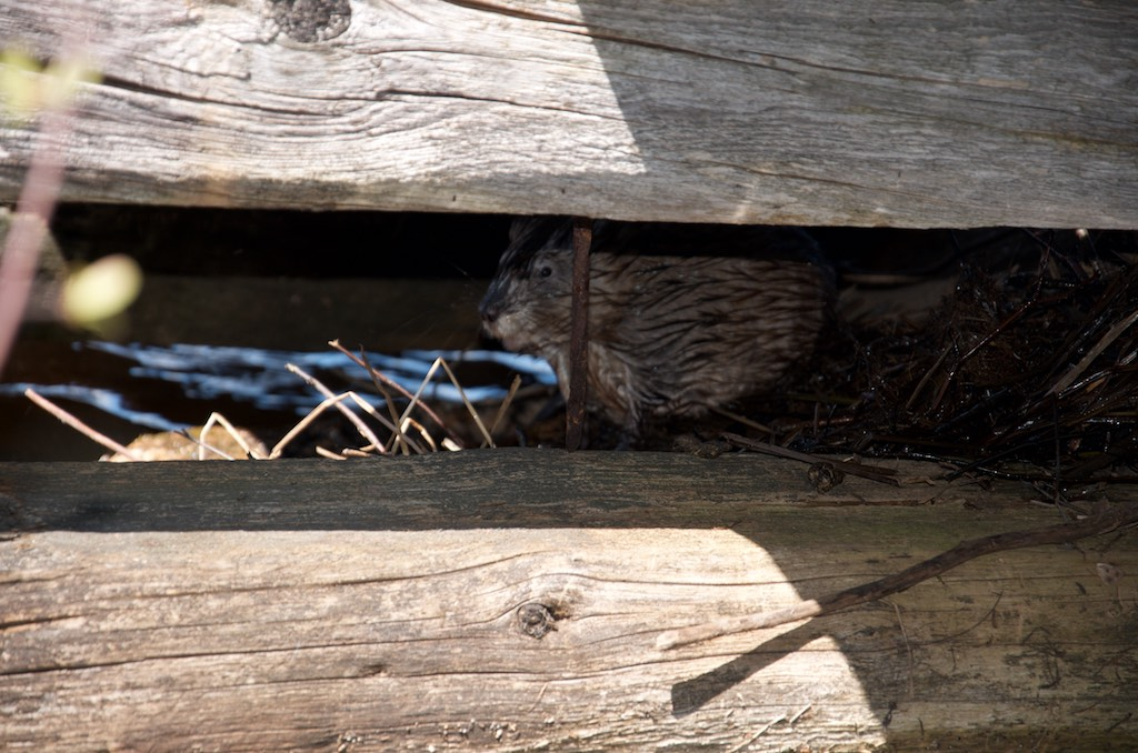A muskrat hiding in a dock crib.