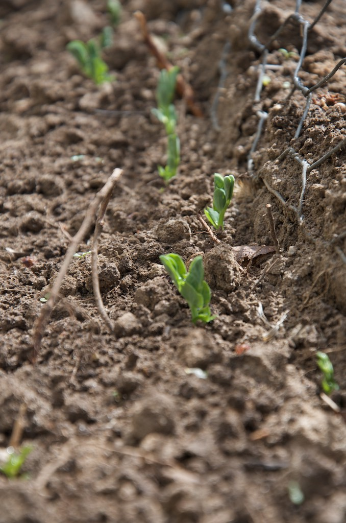 Peas sprouting out of the ground