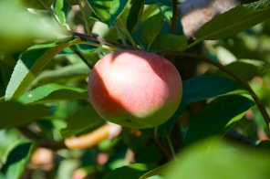 Macintosh apple ripe for the picking