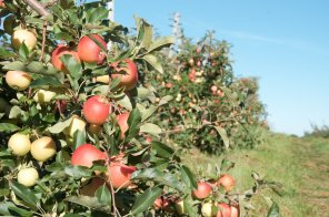 Long rows of Gala apples